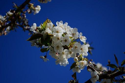 Cherry Blossoms, Sakura, Flowers, Branches