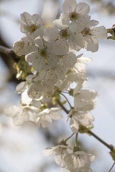 White Flowers, Cherry Blossoms, Sakura, Flowers
