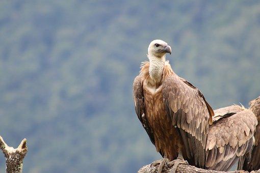 Vulture, Griffon, Bird, Nature, Scavenger, Bill, Animal