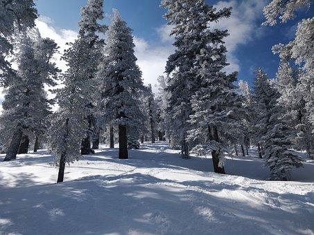 Snow, Trees, Fields, Conifers, Coniferous