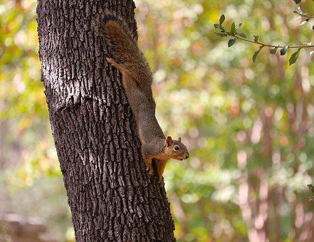 Squirrel, Rodent, Tree Trunk, Wildlife, Forest