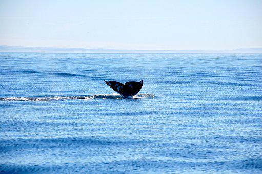 Whale Tail, Whale, Sea, Animal, Mammal, Wildlife