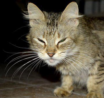 Cat, Kitten, Tabby, Whiskers, Pet, Young Cat, Animal