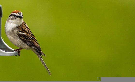 Sparrow, Bird, Animal, Perched, Chipping Sparrow
