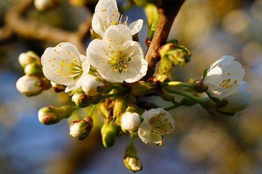 Apple Blossom, Flowers, Spring, Buds, White Flowers