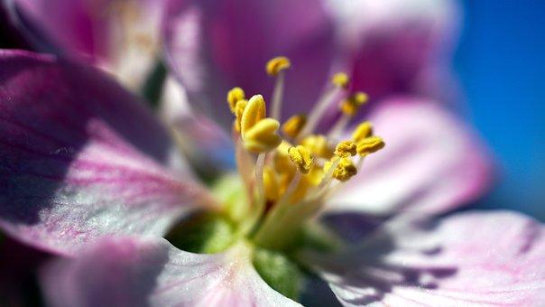 Flower, Petals, Pistils, Apple Tree, Pistil, Blossom
