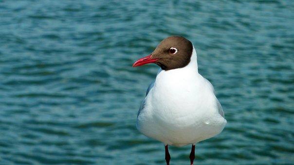 Bird, Seagull, Feathers, Beak, Sea, Ocean, Beach