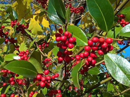 Berries, Nature, Red, Leaves, Snapshot