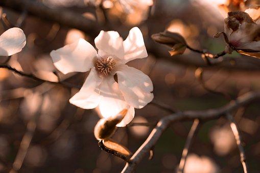 Magnolia, Blossom, Bloom, Bud, Garden, White, Flower