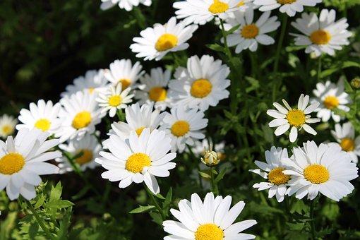Daisies, Daisy, Flower, Spring, Blossom, Marguerite
