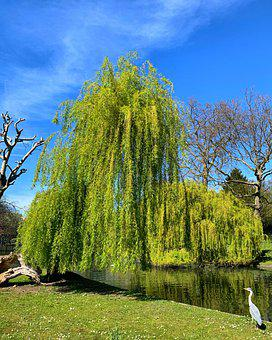Willow, Trees, Stream, Pond, Egret, Tree, Blue Sky