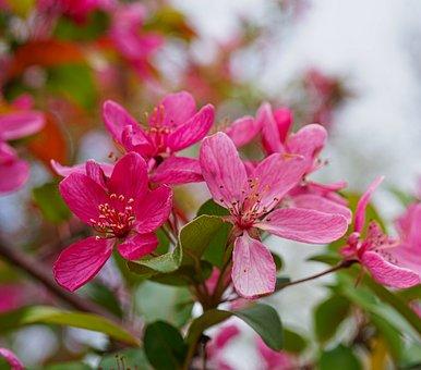 Apple, Flowers, Branch, Tree, Apple Blossoms