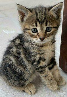 Cat, Kitten, Tabby, Pet, Young Cat, Animal
