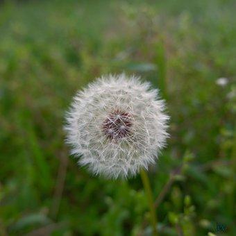 Dandelion, Prato, Nature