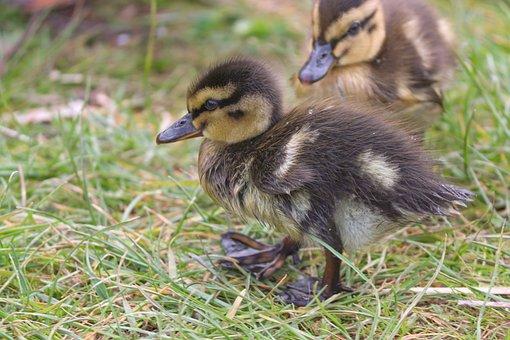 Ducks, Ducklings, Birds, Mallard, Chicks, Meadow