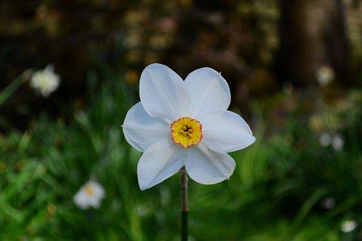 Daffodil, Flower, Plant, Petals, Narcissus