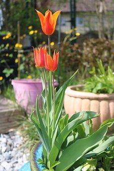 Tulip, Tulips, Spring, Garden, Nature, Flower, Plants