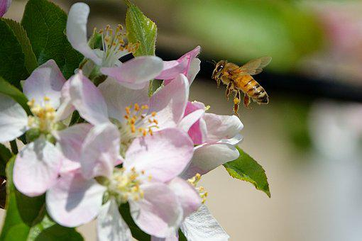 Apple Blossom, Flowers, Bee, Insect, Flying