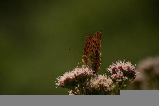 Butterfly, Flowers, Insects, Nature, Pollination