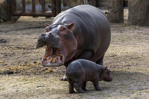 Hippopotamus, Zoo, Copenhagen, Mammals, Hippo