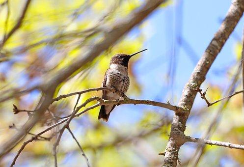 Hummingbird, Bird, Backyard, Wildlife, Animal, Plumage