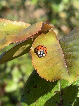 Ladybug, Leaves, Insect, Ladybird Beetle, Beetle