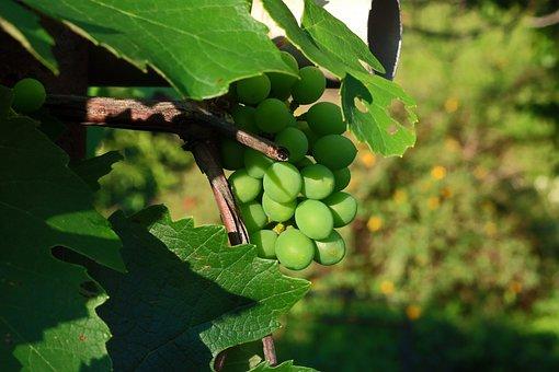 Grapes, Fruit, Bunch, Leaves, Foliage, Unripe, Garden
