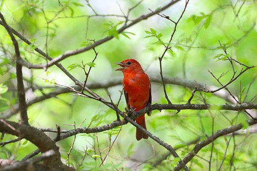 Bird, Orange, Male, Summer Tanager, Wildlife, Backyard