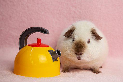 Guinea Pig, Pet, Kettle, Cavy, Rodent, Animal, Mammal
