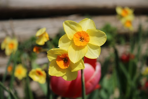 Narzisse, Narcissus, Daffodil, Spring, Flower, Nature