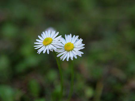 Daisy, Flowers, Plant, White Flowers, Petals, Bloom