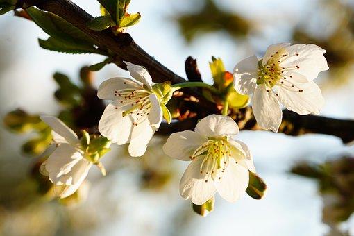 Apple Blossom, Flowers, Spring, White Flowers