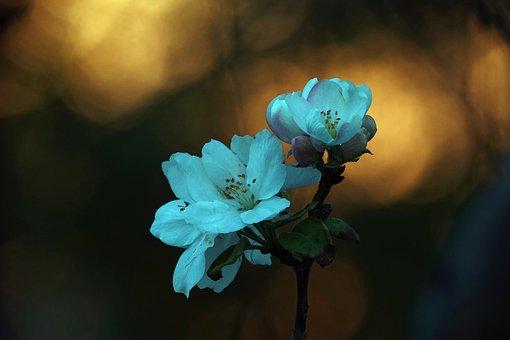 Begonia Flower, Twilight, Shadow, Sunset