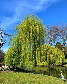 Willow, Trees, Stream, Pond, Egret, Tree, Blue Sky