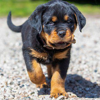 Rottweiler, Puppy, Pet, Dog, Cute, Animal, Young Dog