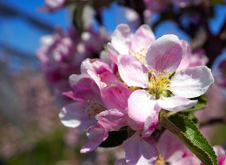 Apple, Flowers, Branch, Apple Blossom, Pink Flowers