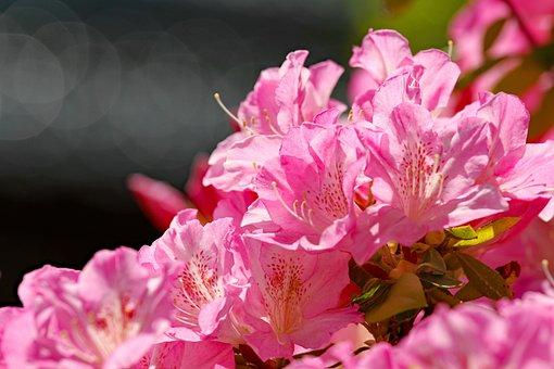 Azalea, Flowers, Bloom, Bright, Bush, Pink