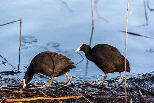 Coot, Bird, Water Bird, Animal, Bill, Plumage, Nature
