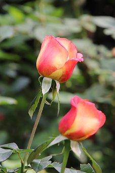 Tulips, Flowers, Field, Bicolored Flowers, Bloom