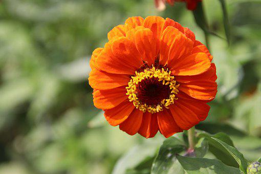Zinnia, Zinnia Elegans, Orange Flower, Bloom, Blossom