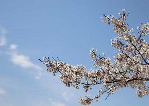 Cherry Blossoms, Flowers, Blossoming, Blooming