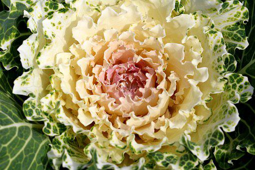 Flowering Cabbage, Cauliflower, Brassica Oleracea