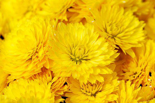 Chrysanthemum, Flowers, Plants, Yellow Flowers