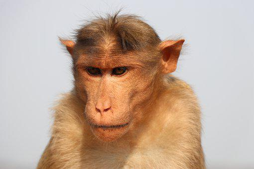 Monkey, Animal, Wildlife, Mammal, Primate, Closeup