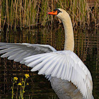 Mute Swan, Cygnus Cygnus, Bird, Water, Stand, Elegant
