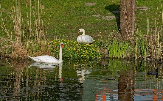 Mute Swans, Cygnus Cygnus, White, Elegant, Swimming