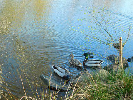 Duck, Drake, Pond, Mallard, Water Bird, Duck Bird