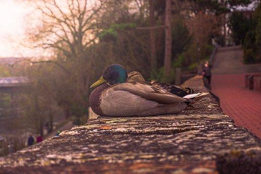 Duck, Water Bird, Beak, Feathers, Plumage, Wall, Sit