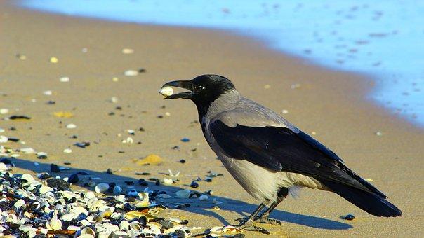 Bird, Crow, Sand, Beach, Shells, Marine, Feathers