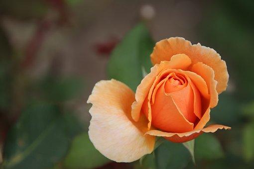 Rose, Yellow Rose, Yellow Flower, Yellow Petals, Flower
